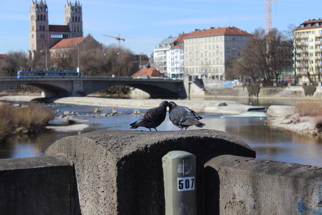 Tauben an der Isar