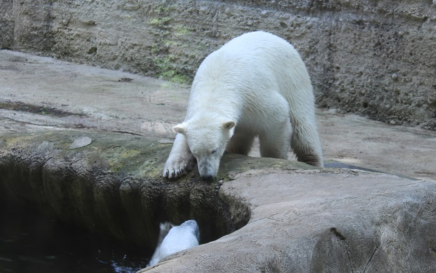 Eisbären imTierpark